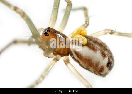 A juvenile female sheetweb weaver spider (Pityohyphantes phrygianus) with two yellow parasitic larvae attached to - Stock Image