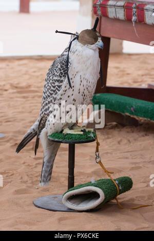 Arabian falcon with head cover - Stock Image