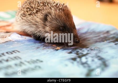 hedgelet rescue - Stock Image