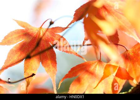 Acer Japonicum Full Moon Maple, changing leaf colour Jane Ann Butler Photography  JABP1827 - Stock Image