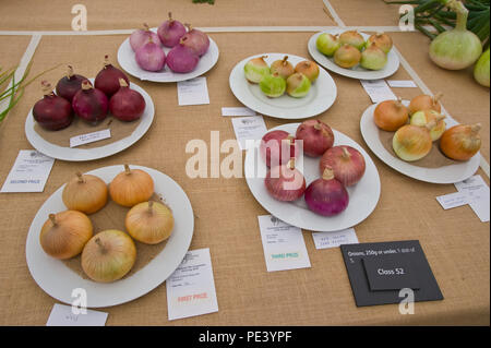 Prizewinning onions exhibited at RHS Tatton Park flower show Cheshire England UK - Stock Image
