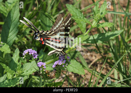 A summer phase zebra swallowtail butterfly. - Stock Image