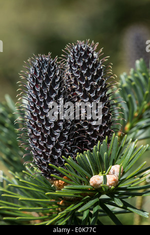 Fruit cones Abies fargessii var. sutchunensis native to China cones Yorkshire Arboretum Kew Castle Howard North Yorkshire Europe - Stock Image