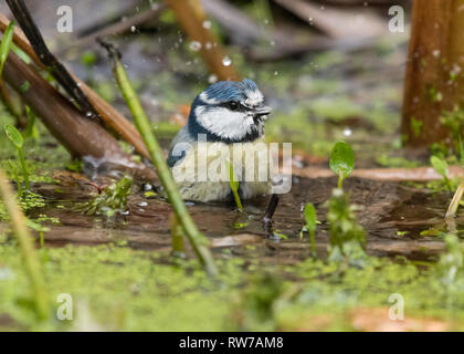 Stirlingshire, Scotland, UK - 5 March 2018: UK weather - a blue tit adds a splash of colour as it bathes in a garden wildlife pond on a dull cloudy day in Stirlingshire Credit: Kay Roxby/Alamy Live News - Stock Image