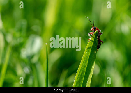Red soldier beetle (Cantharis Pellucida) on a blade of grass - Stock Image