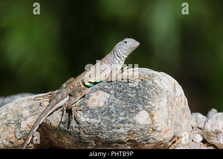 Portrait of a greater earless lizard in the Sonoran Desert of Arizona, USA. - Stock Image