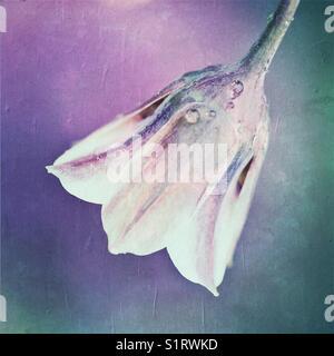 Allium bulgaricum summer flower - Stock Image