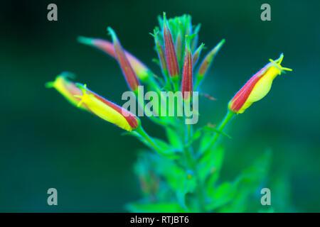 Oenothera flower, (Evening Primrose, Sundrop, Suncup), Abkhazia, Georgia - Stock Image