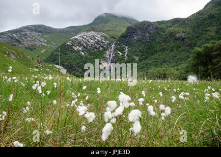 Seed heads of Common Cotton-grass (Eriophorum angustifolium) or Bog Cotton in valley with Steall waterfall in summer. Glen Nevis Highland Scotland UK - Stock Image