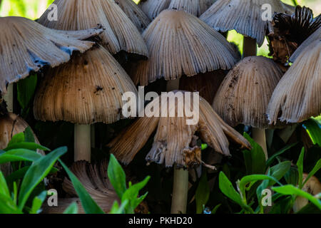 Group of Small Brown Mushrooms close up in forest - Stock Image