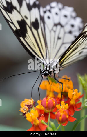 A tree Nymph butterfly on an orange and red flower - Stock Image