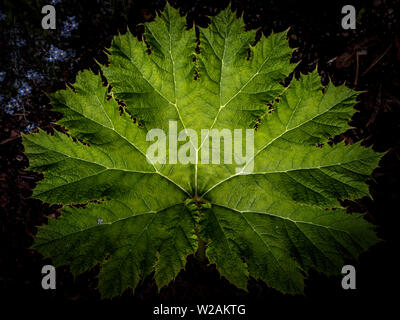 The leaf of Gunnera tinctoria outside in a garden, close-up - Stock Image
