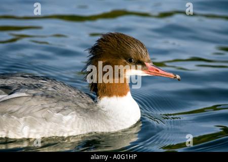 female goosander (Mergus merganser) - Stock Image