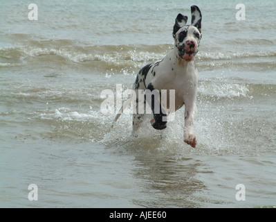 Great dane running in sea - Stock Image