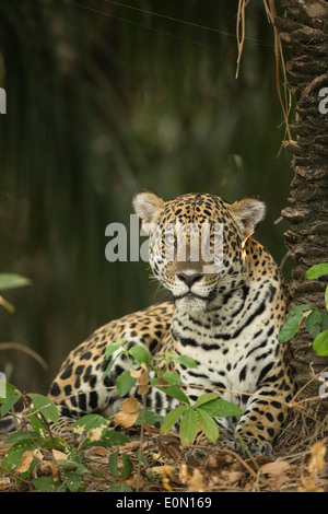 Jaguar along river, Pantanal, Brazil, South America (Panthera onca) - Stock Image
