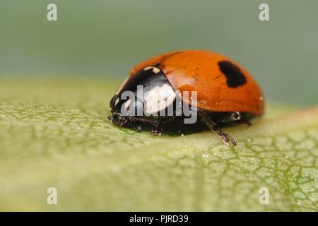 2-spot Ladybird (Adalia bipunctata) at rest on birch leaf. Tipperary, Ireland - Stock Image