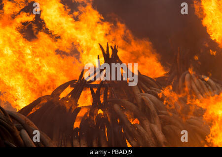 Piles of African elephant ivory set on fire by the Kenya Wildlife Service (KWS). This burn included over 105 tons of elephant ivory, worth over $150 million. Nairobi National Park, Kenya, 30th April 2016. - Stock Image