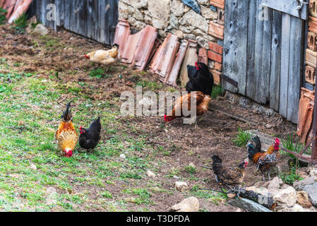 Hens, chickens looking for food in the farm yard - Stock Image