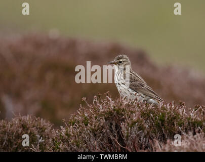 Meadow Pipit (Anthus pratensis) perched on top of heather, North Uist, Outer Hebrides, Scotland - Stock Image