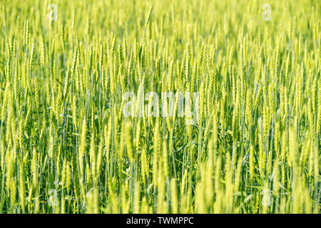 Bright green rye field with selective focus on the ears - Stock Image