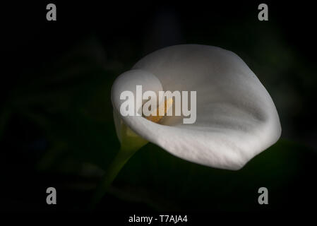 Selective focus and close-up view of white calla lilly with yellow spadix in nature, centered, with copy space, the background is green, side top view - Stock Image