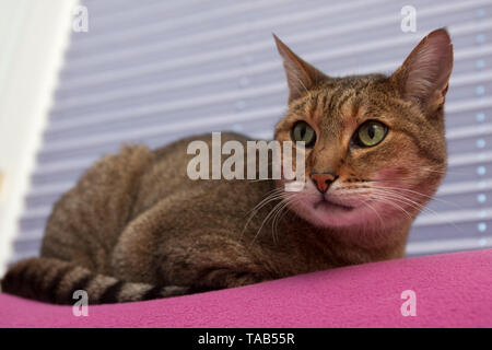 Bengal cat.  Portrait single male adult sitting in front of window blind, England, UK - Stock Image