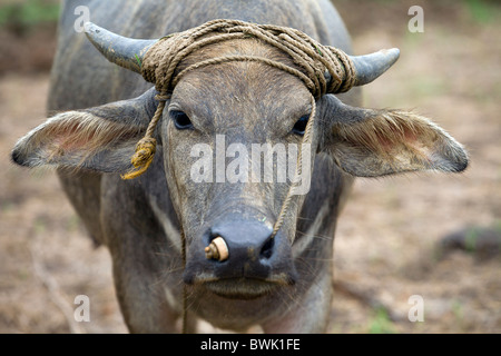 A young carabao standing in a rice field in Mansalay, Oriental Mindoro, Philippines. - Stock Image