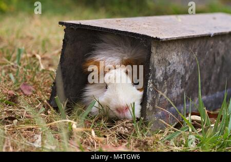 Brown and white Abyssinian guinea pig hiding in a tunnel on a lawn. - Stock Image