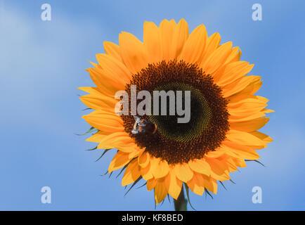 worker Buff-tailed bumblebee, (Bombus terrestris), nectar feeding on Helianthus or sunflower, (Helianthus annuus), - Stock Image