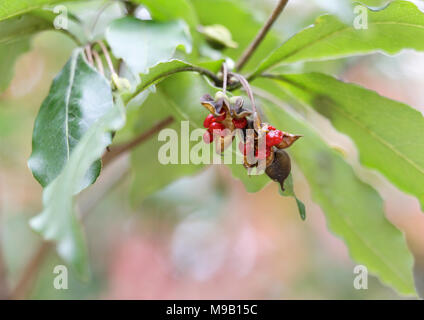 Pittosporaceae - Pittosporum sahnianum - November - Stock Image