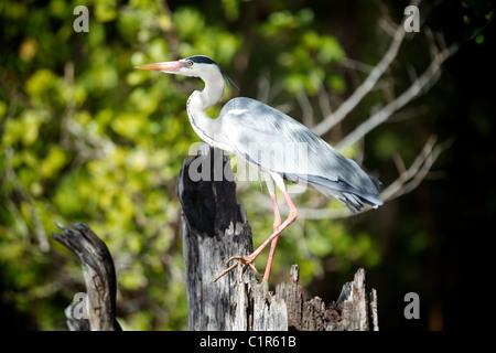 Grey Heron (Ardea cinerea) Saadani Tanzania - Stock Image