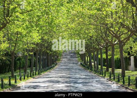 Planted tree avenue near Mougins, Alpes Maritimes, 06, PACA, France - Stock Image
