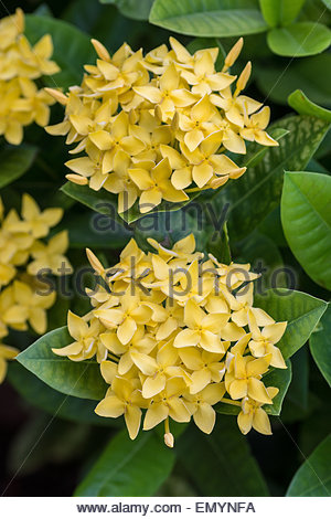 Yellow Ixora known as jungle geranium, flame of the woods, and jungle flame - native to Southern India and Sri Lanka - Stock Image
