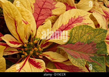 A stock photograph of strawberry and cream poinsettias. - Stock Image