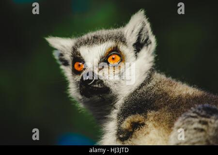 lemur gaze - Stock Image