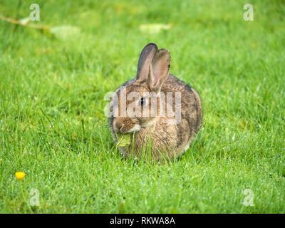 Closeup of one young wild European rabbit (Oryctolagus cuniculus) on short green grass lawn, Scotland, UK - Stock Image