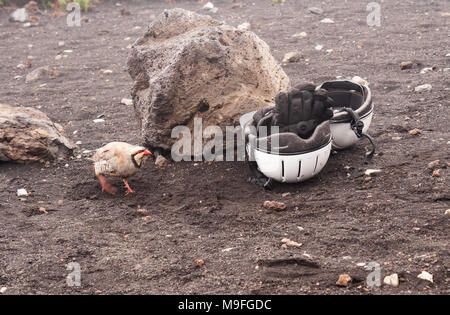 Chukar partridge, Alectoris chukar, inspects helmets and gloves in Haleakala crater, Maui. - Stock Image