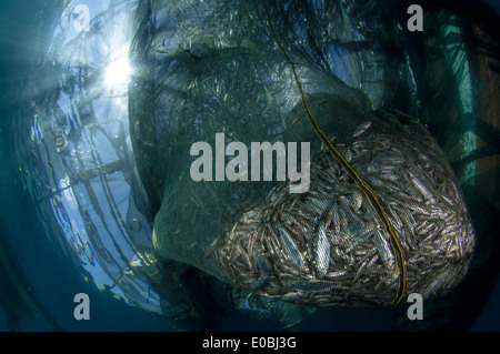 Net filled with small fish, ikan puri, below a Bagan (local fishing boat with platform and nets), Cenderawasih Bay, New Guinea - Stock Image