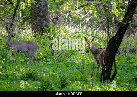 White-tailed deer in spring forest. Thatcher Woods Forest Preserve, Cook County, Illinois. - Stock Image