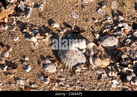 Shells washed up on Moses Rock Beach, Western Australia - Stock Image