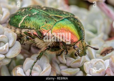 UK Berkshire Rose Chaffer Beetle - Stock Image