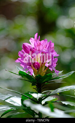 pink rhododendron flower emerging in spring growth - Stock Image