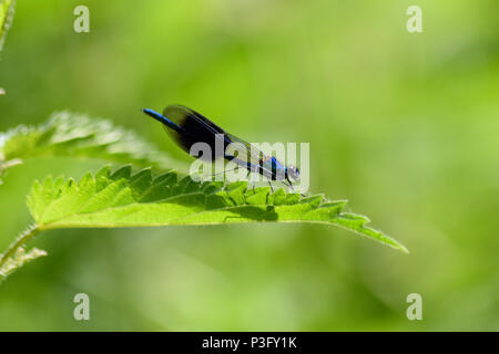 Male banded demoiselle perched on a stinging nettle leaf on a river bank in the sun - Stock Image