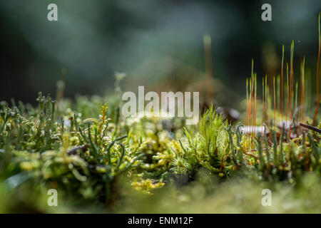 Macro photography of various mosses - Stock Image