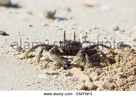 Ocypode ceratophthalma known as the horned ghost crab or horn-eyed ghost crab - Stock Image