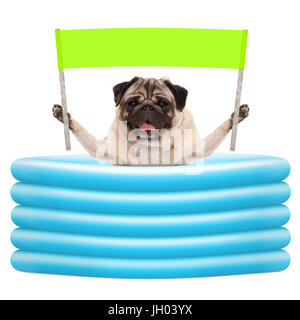 smiling summer pug dog with green banner sign with in inflatable pool, isolated on white background - Stock Image
