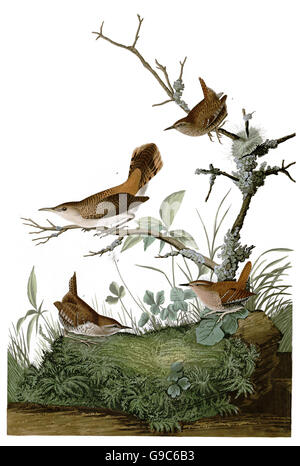1 Rock Wren, Salpinctes obsoletus, 2 Winter Wren, Troglodytes troglodytes, birds, 1827 - 1838 - Stock Image