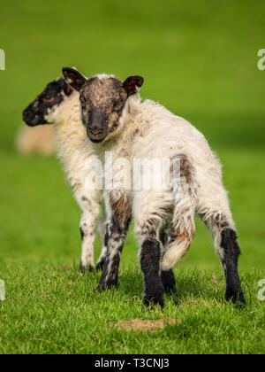 Lambs on a meadow - Stock Image
