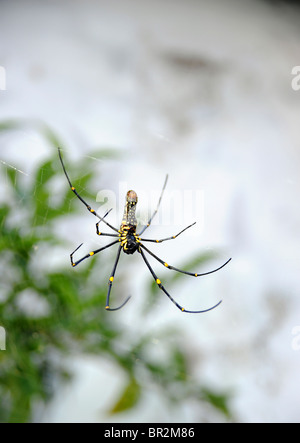 Spider hanging in a web, Kerala, India - Stock Image