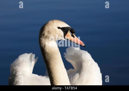 Portrait of a Mute Swan, Cygnus olor - Stock Image